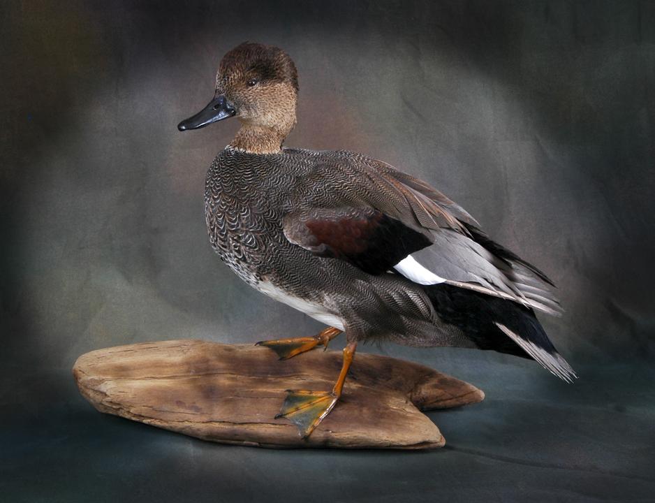 Gadwall duck mounts - photo#12
